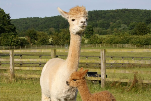 Alpaca-petting in Green Creek, NJ is a great escape from New York City.