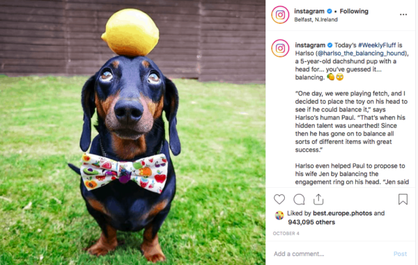 Instagram official account post featuring a Dachshund dog balancing a ball on its nose and wearing a bow tie